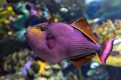 triggerfish Rojo-dentado - peces de agua salada de Odonus Niger imagenes de archivo