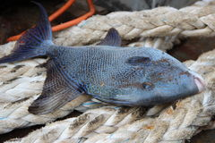 Triggerfish on a rope. Colorful trigger fish caught a brought onboard Stock Photography
