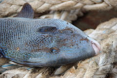 Triggerfish on a rope. Colorful trigger fish caught a brought onboard Royalty Free Stock Image