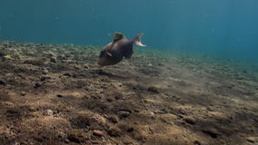 Triggerfish in sand at bottom in search of food. Triggerfish digging in the sand at the bottom in search of food. Amazing, beautiful underwater world Bali stock video footage