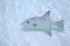 Triggerfish in a shallow water Stock Photos