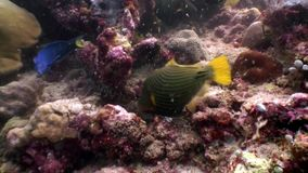 Triggerfish unicorn fish underwater eats coral on seabed in Maldives. Unique macro video closeup footage. Abyssal relax diving. Natural aquarium of sea and stock video footage