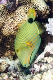 Triggerfish vert Images libres de droits