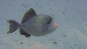Triggerfish Yellowmargin смотрит в море сток-видео