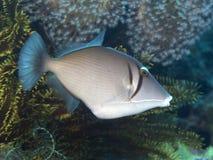 Triggerfish Yellowmargin Стоковые Изображения