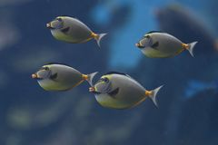 Triggerfishes Royalty Free Stock Photography