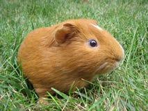 Triggie o Piggie Fotografia de Stock Royalty Free