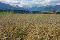 Triglav from wheat cornfield Royalty Free Stock Image