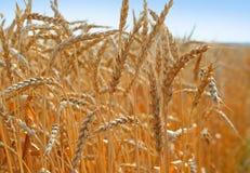 Trigo 3 da colheita Imagens de Stock