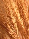 Trigo Imagem de Stock