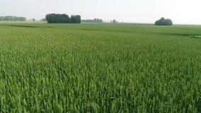 Trigo, agricultura, exploração agrícola, mais video estoque