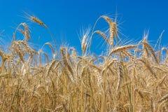 Trigo amarillo de oro del trigo del verano con cierre claro del cielo azul para arriba Fotos de archivo libres de regalías