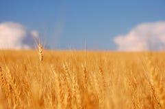 Trigo antes da colheita Imagem de Stock