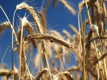 Trigo antes da colheita Imagem de Stock Royalty Free