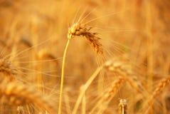 Trigo antes de la cosecha Imagen de archivo