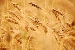 Trigo antes de la cosecha Fotografía de archivo libre de regalías
