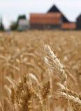 Trigo antes de la cosecha Imagen de archivo libre de regalías