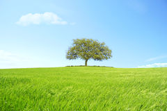 Trigo bonito do monte com árvore e nuvens no céu Foto de Stock Royalty Free