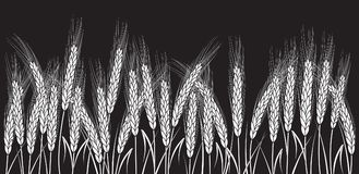 Trigo branco isolado no fundo preto Foto de Stock Royalty Free