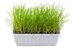 Trigo brotado, césped, hierba en conserva ornamental, trayectoria de recortes, aislada Imagen de archivo libre de regalías