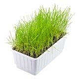 Trigo brotado, césped, hierba en conserva ornamental, trayectoria de recortes, aislada Fotografía de archivo libre de regalías