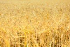 Trigo, campo de grano Imagenes de archivo
