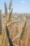 Trigo - cercano para arriba de un campo de trigo Imagenes de archivo