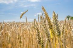 Trigo - cercano para arriba de un campo de trigo Imagen de archivo