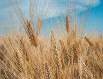 Trigo claveteado de oro debajo de un cielo azul con las nubes Imagen de archivo libre de regalías