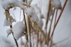 Trigo coberto na neve foto de stock royalty free