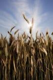 Trigo con el sol Imagen de archivo libre de regalías