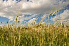 Trigo contra o céu azul e nuvens brancas inchado fotografia de stock