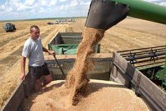 Trigo da carga da ceifeira de liga no caminhão Foto de Stock Royalty Free