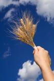 Trigo de la explotación agrícola contra el cielo azul imagenes de archivo