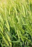 Trigo de la planta del cereal Imágenes de archivo libres de regalías