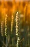Trigo de la puesta del sol Fotografía de archivo libre de regalías
