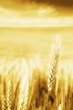 Trigo de oro Imagen de archivo libre de regalías