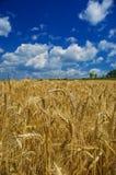 Trigo de oro en campo de granja Imagen de archivo libre de regalías