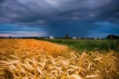 Trigo de oro listo para la cosecha que crece en granja Fotos de archivo libres de regalías