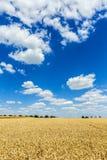 Trigo de oro, maduro contra fondo del cielo azul Imagen de archivo libre de regalías