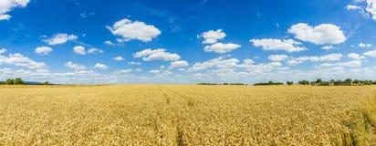 Trigo de oro, maduro contra fondo del cielo azul Fotografía de archivo
