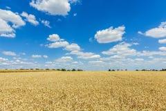 Trigo de oro, maduro contra fondo del cielo azul Imagenes de archivo