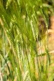 Trigo de trigo duro - timilia do trigo duro do triticum - poaceae Fotografia de Stock Royalty Free