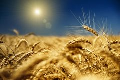 Trigo del oro y cielo azul fotografía de archivo