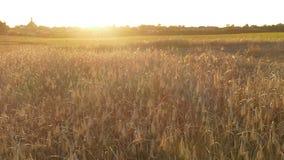 Trigo del verano en sol Imagen de archivo libre de regalías