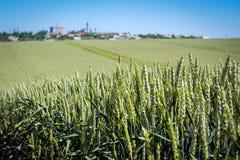 Trigo denso com a grão completa, amadurecendo pontos no fundo do campo e do céu imagem de stock