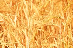 Trigo dourado Imagens de Stock Royalty Free