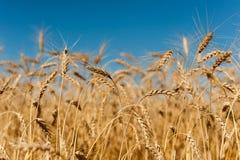 Trigo dourado Imagem de Stock