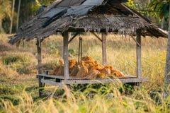 Trigo dourado Imagens de Stock