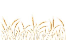 Trigo dourado isolado no fundo branco Foto de Stock